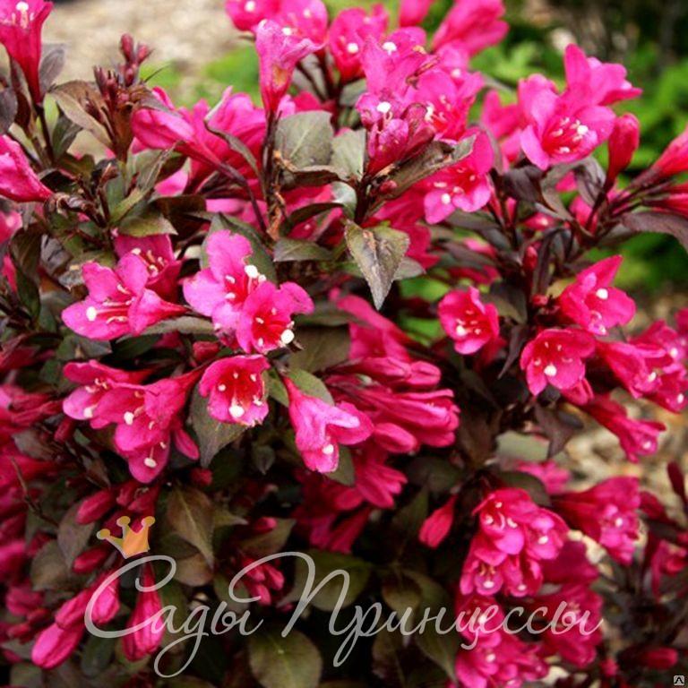 Фото Вейгела цветущая Виктория (Weigela Victoria)