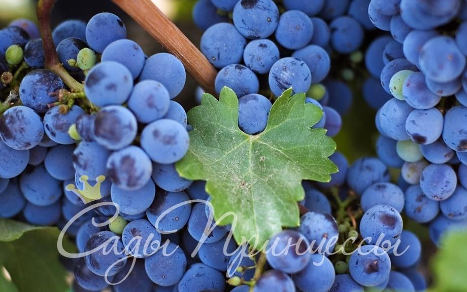 На фото сорт Виноград Изабелла
