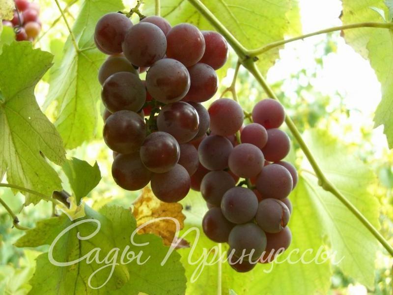 На фото сорт Виноград Лидия