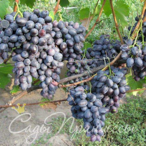 Виноград плодовый