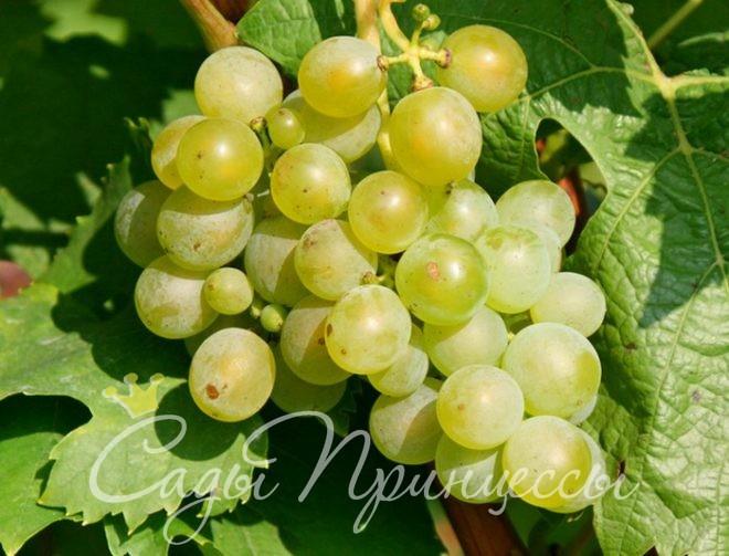 На фото сорт Виноград Мускат белый (Мускатный белый)