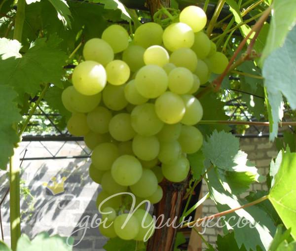 На фото сорт Виноград Мускат янтарный