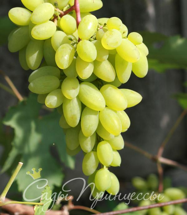 На фото сорт Виноград Тимур