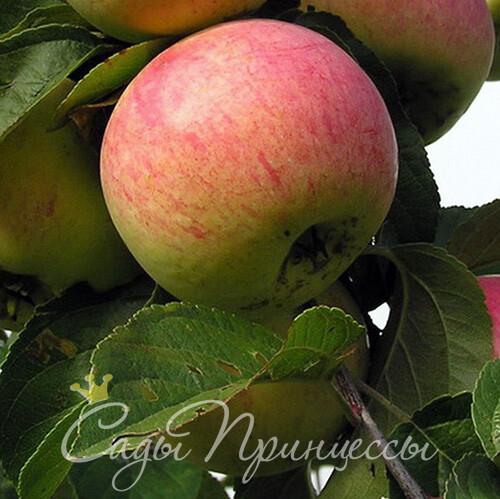 На фото сорт Яблоня Анис полосатый