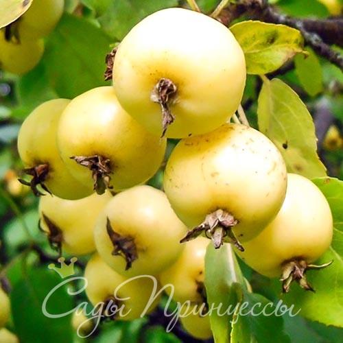 На фото сорт Яблоня Китайка золотая
