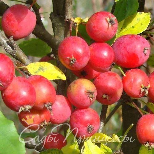 На фото сорт Яблоня колоновидная Китайка красная