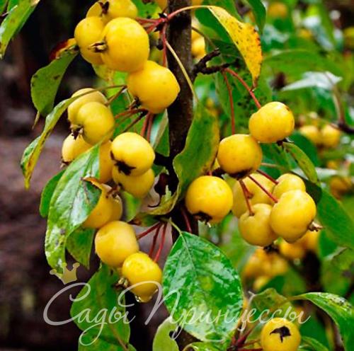 На фото сорт Яблоня колоновидная Китайка жёлтая