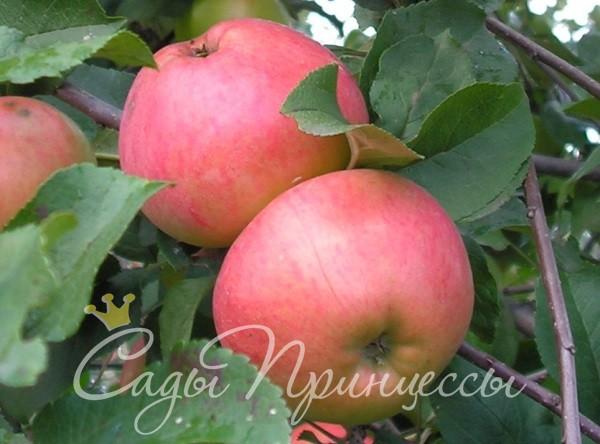 На фото сорт Яблоня Осенняя радость