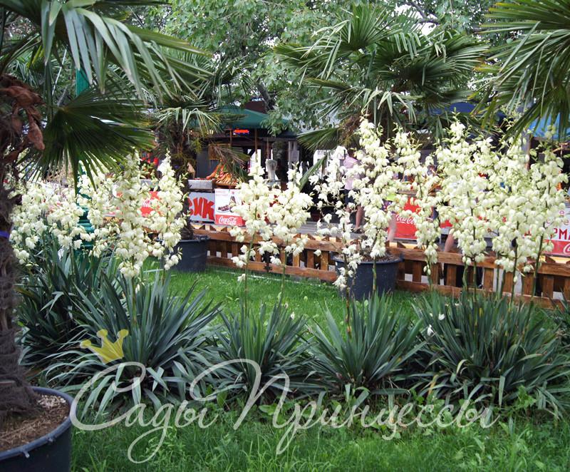 Купить Юкка Нитчатая (Yucca Filamentosa)