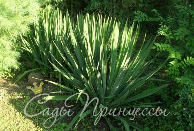 Купить саженцы Юкка Нитчатая (Yucca Filamentosa)