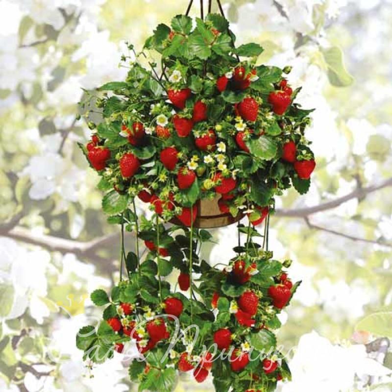 На фото сорт Клубника (земляника) ремонтантная крупноплодная Ампельная