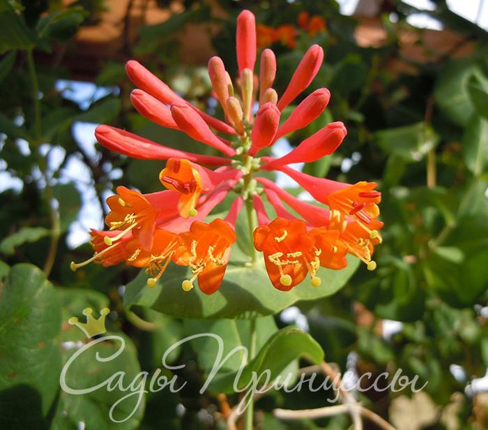 На фото сорт Жимолость Брауна Дропмор Скарлет (Lonicera Brownii Dropmore Scarlet)
