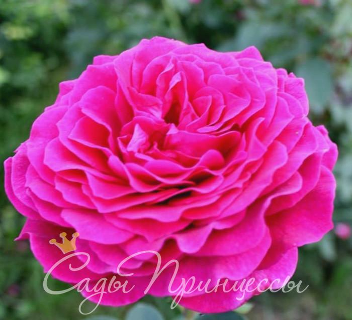 На фото сорт Роза Биг перпл (Big purple)
