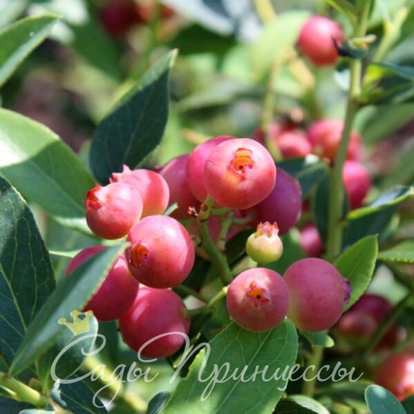 На фото сорт Голубика Пинк Блюберри (розовая Pink Blueberry) высокорослая