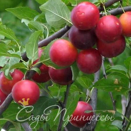 На фото сорт Сливово вишневый гибрид Бета