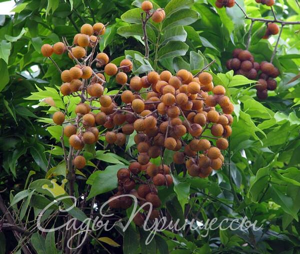 На фото сорт Мыльное дерево (Сапиндус)