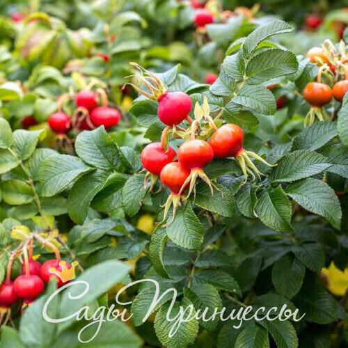 Шиповник (плодовый)