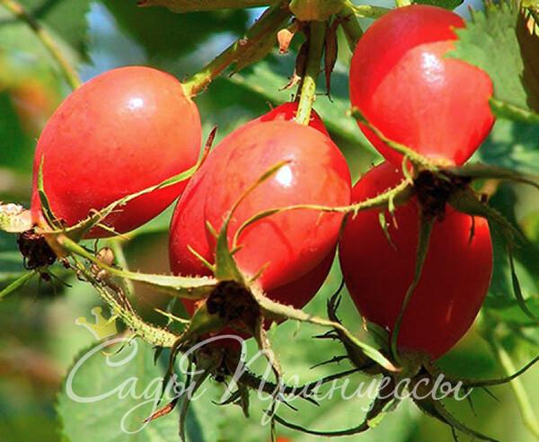 На фото сорт Шиповник витаминный ВНИВИ