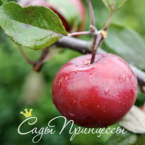 Яблоня с краной мякотью