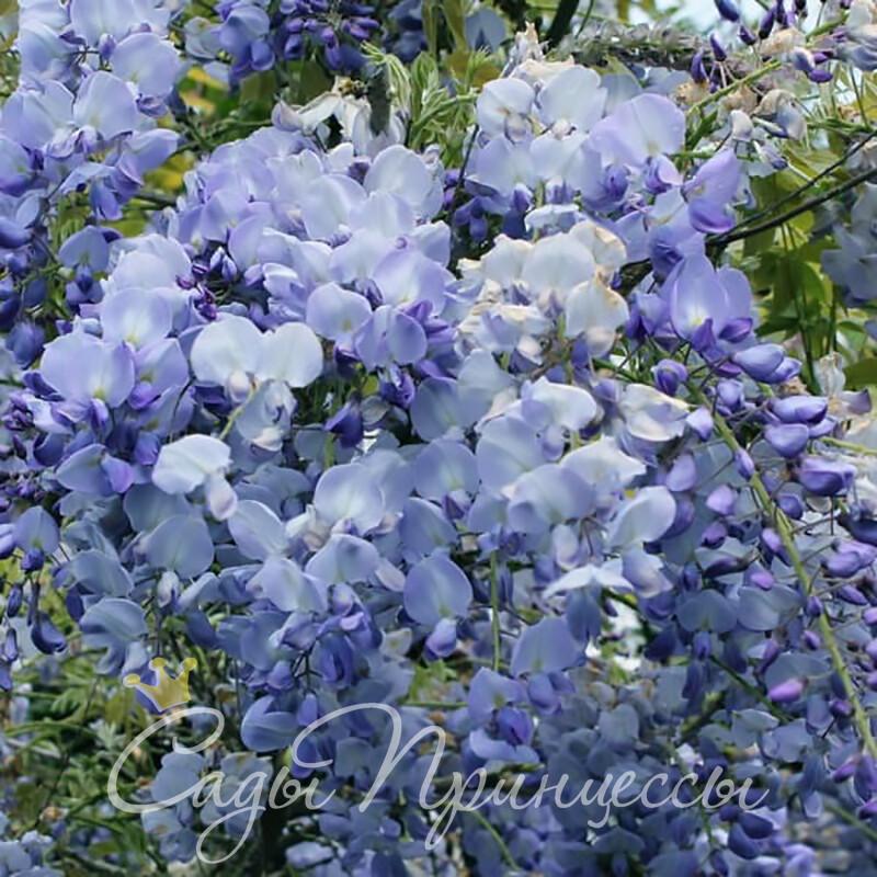 Фото Глициния обильноцветущая Блю Дрим (Blue Dream)