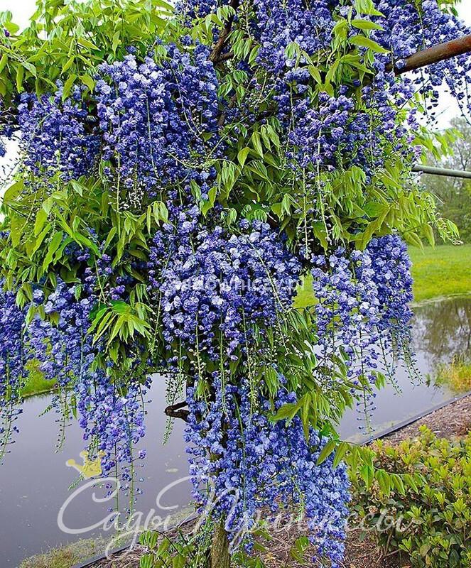 На фото сорт Глициния обильноцветущая Блю Дрим (Blue Dream)
