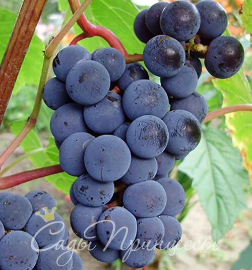 На фото сорт Виноград Зилга (Zilga)