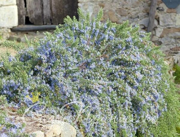 На фото сорт Розмарин лекарственный Корсикан Блю (Corsican Blue)